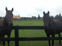 FREE to a Good Home- 2 Standardbred Horses