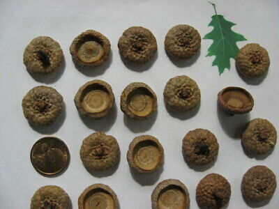 75 EXTRA LARGE RED OAK ACORN CAPS IN SIZES OF A SUSAN B. COIN TO 1/2 DOLLAR ETC.