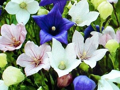 DOUBLE BALLOON MIX PLAYCODON FLOWER SEEDS. WHITE - PINK - BLUE COLORS. USA TEXAS (Double Mixed Colors Flower)