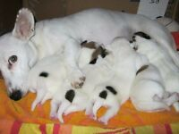 jack russell puppies for sale UPDATE: 3 boys left