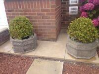 Pair of Stone Planters & Established Box Balls