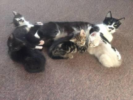 Gorgeous Ragdoll cross kittens