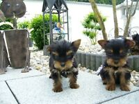 Home raised male and female Teacup Yorkshire Terriers puppies