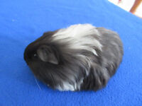A pretty pair of baby female guinea pigs for sale and one baby long haired male