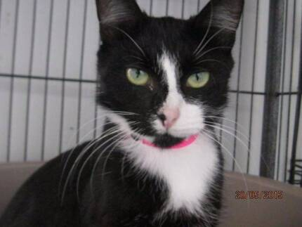Desparate - young fluffy tuxedo female seeking new family @pound Blacktown Blacktown Area Preview