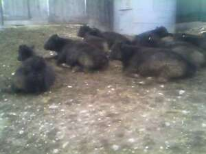 Black Angus Heifers