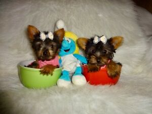 Tcup and tiny toy Yorkie pups