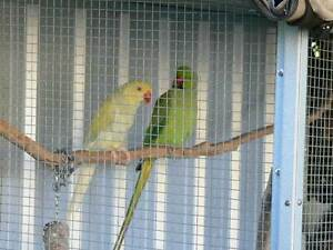 Indian Ringneck Parrots Gladstone Gladstone City Preview