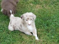 4 ambitious  Australian shepherd puppies now ready for home