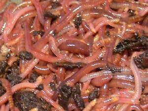 Organic worm castings and composting worms