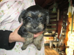 3/4 Yorkie 1/4 Shih-tzu delivery available
