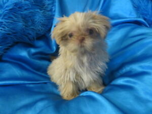 MicroTeacup Shih-Tzu Cream Liver Male pup! Vet Check Healthy!