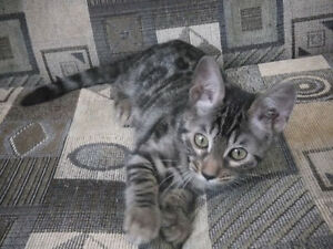 TICA registered top quality purebred Bengal kittens - Chatons