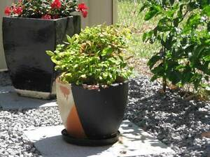 Two plants in pots Anna Bay Port Stephens Area Preview