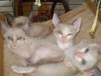 Siamese Pedigree x Snowshoe Pedigree Kittens £195 rare opportunity to buy this cross.