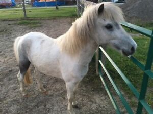 5 yr. old Shetland Pony Project Mare