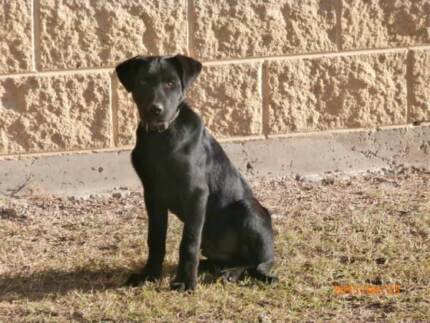 WORKING KELPIE PUP FOR SALE Darling Downs Preview
