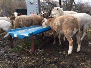 For Sale Katahdin Ram Lambs