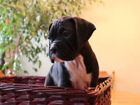 Boxer Puppies Pure Breed CKC Registered ready to go NOW