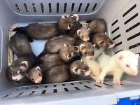ferret babies kits 8 weeks old