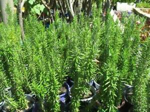 Potted beautiful rosemary and lavender plants