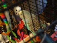 Perruches et jeunes canaris