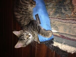 Dog Friendly Maine Coon Mix kittens
