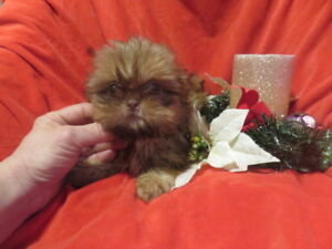 Imperial/Teacup 100% Shih-Tzu pups. Non shedding/hypo allergenic