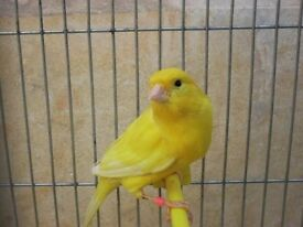 pure yellow canary for sale!