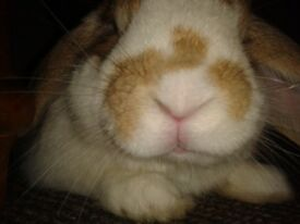 lost male dwarf lop, white with tan patches, cookie.. 9.01.18 from grangemouth