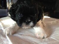 Shihtzu Puppies for Sale