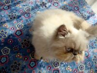 looking for male persian himalayen