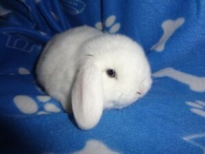 Gorgeous Purebreed Holland Lop Bunny For Sale