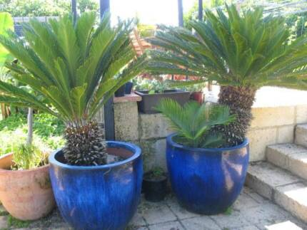 Large Cycad Plants