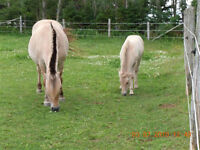 For sale 2 Fjord Mares