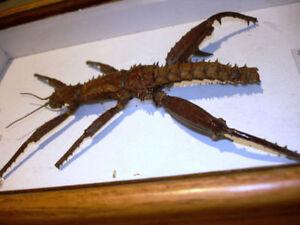 SPINY DEVIL Walking Stick EURYCANTHA HORRIDA male NEW GUINEA Cambridge Kitchener Area image 6