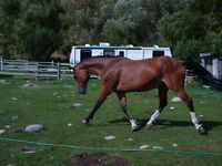 17hh Warmblood available for lease