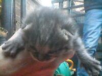 bengle cross kitten
