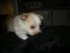 pomm/chihuahua    1girl lefted 2boys lefted