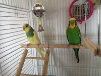 TWO FANCY PARAKEETS