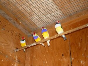Gouldian Finches London Ontario image 4