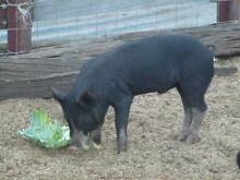 Free range Berkshire pigs for sale. Collie Collie Area Preview