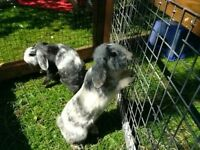 2 Female Lop Ear Rabbits 9months old. Prefer go together, will separate. Hutch and Run also for sale