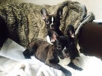 For sale beautiful french bulldogs girl