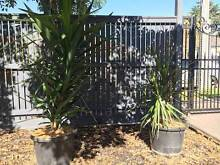 2x YUCCA PLANTS FOR SALE- with pots Sandringham Bayside Area Preview