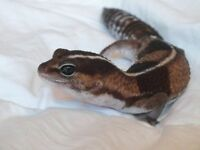 Gecko-All included-Reduced