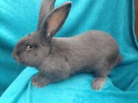 Continental Giant Blue buck boy baby rabbit