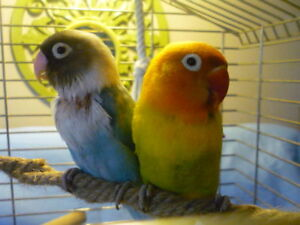 DEUX INSEPARABLES AVEC CAGE / 2 LOVEBIRDS WITH CAGE
