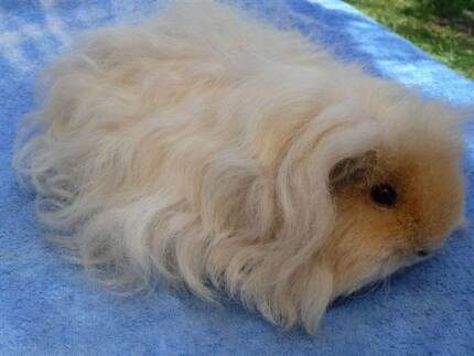 PURE LONG HAIRED GUINEA PIG BABIES - MERINOS & TEXELS