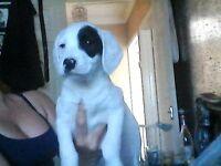 bedlington cross jack russel pup